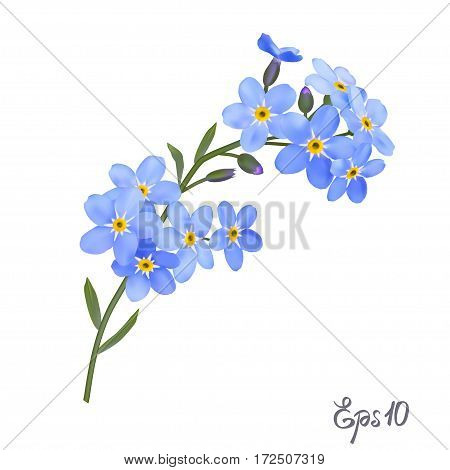 Branch of blue forget-me-not flowers isolated on white background close up. Photo-realistic mesh vector illustration.