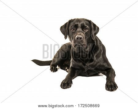 Black labrador retriever lying on the floor facing the camera isolated on a white background