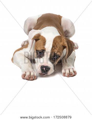 American bulldog puppy lying on the floor staring at the floor with paws to the front isolated on a white background