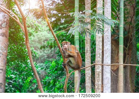 Toque macaque monkey Macaca Tit male sitting on a branch. Green tropical forest island of Sri Lanka.