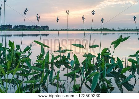 thalia dealbata in the lake at sunset hardy canna or powdery thalia is an aquatic plant in the family marantaceae