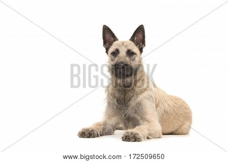 Dutch wire-haired shepherd lying on the floor facing the camera seen from the front isolated on a white background