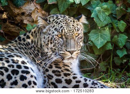 JERUSALEM ISRAEL - JANUARY 23: The Persian Leopard close-up in Biblical Zoo in Jerusalem Israel on January 23 2017