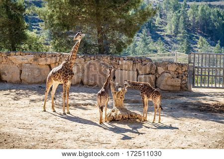 JERUSALEM ISRAEL - JANUARY 23: Giraffes in Biblical Zoo in Jerusalem Israel on January 23 2017