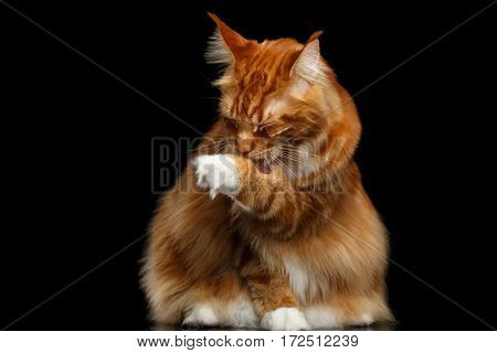 Huge Ginger Maine Coon Cat Sitting with Furry Tail and Licking paw Isolated on Black Background, front view