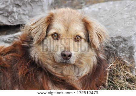 Portrait of a dog with prominent a brown eyes looking at camera