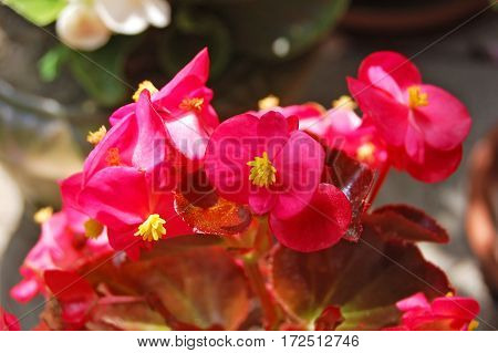Beautiful Begonia Flower