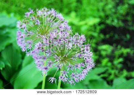 Beautiful Allium Flower