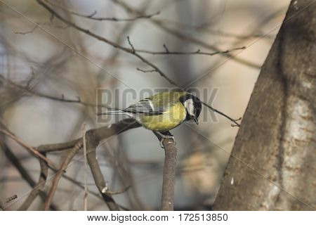 Great tit Parus Major close-up portrait on branch with bokeh background selective focus shallow DOF