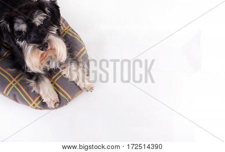 Cute fluffy miniature schnauzer lying on his bed and looking up at camera. Top view image of a dog on white background. Place for your text