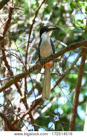 Ceylon Grey Hornbill Ocyceros gingalensis endemic bird Sri Lanka