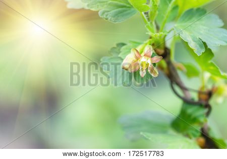 flowers gooseberry blooming on a branch of bush in garden closeup, nature background