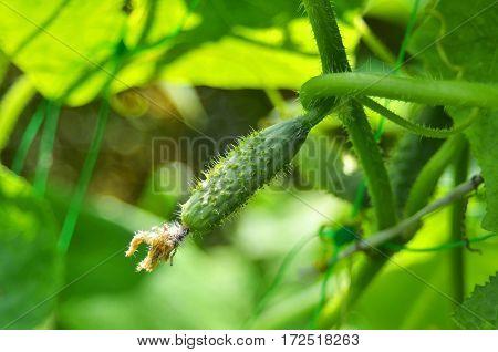 Fresh green cucumber on branch in garden-bed