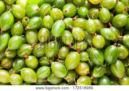 Fresh green gooseberries background. Gooseberry texture. Summer berries