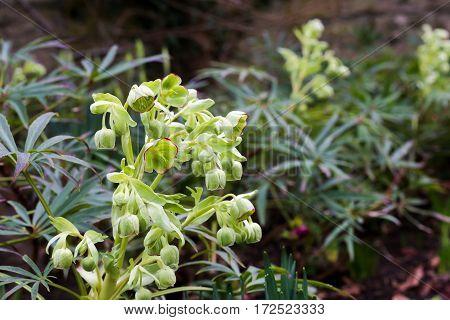 Stinking Hellebore (helleborus Foetidus) Flowers