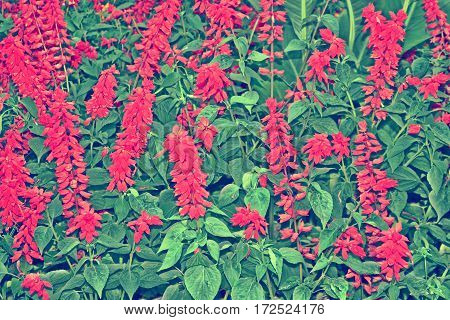 bright and colorful flowers salvia. autumn landscape.