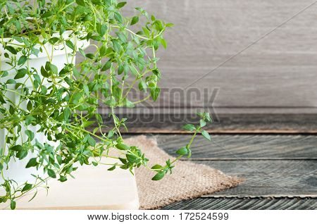 Thyme plant in a white pot on a wooden background