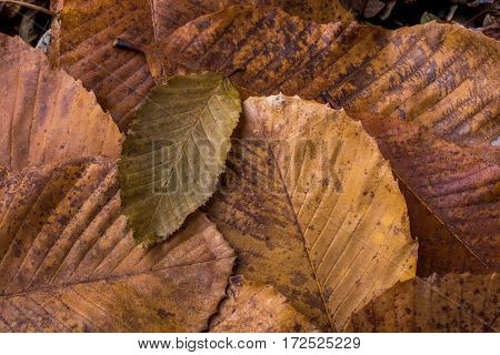 Dry Leaf Outstanding On Other Leaves As Autumn Background
