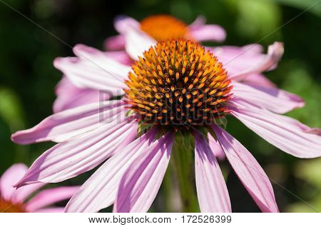 Echinacea Purpurea flowers in a garden closeup