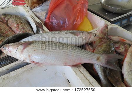 Fresh mullet from Adriatic sea in Montenegro.