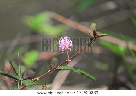 Sensitive plant Mimosa pudica flower sleepy .