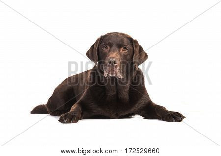 Senior male chocolate brown labrador retriever dog lying on the floor facing the camera isolated on a white background