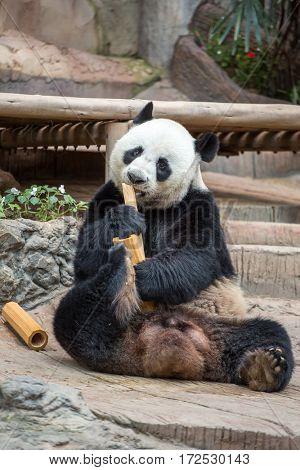 Giant panda eating bamboo in Chiang Mai zoo, Thailand