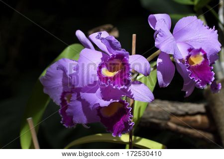 Close-up of a blooming orchide (phalaenopsis) in a botanical garden in Puerto de la Crus Spain.