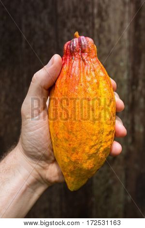 Men's hand holding ripe yellow cocoa fruit