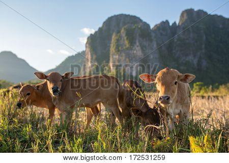 Cute calves grazing near the Vang Vieng village in Laos