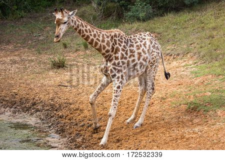 Young giraffe looking whre to drink at a waterhole
