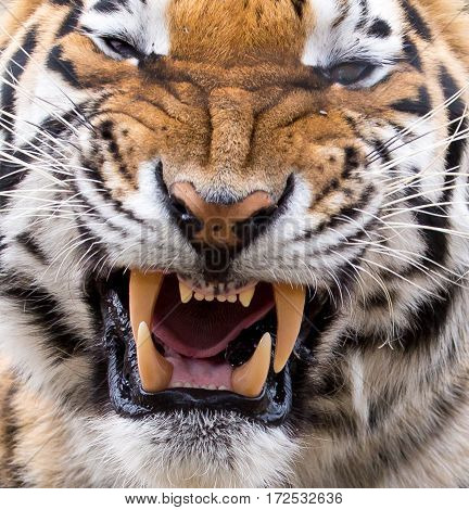 Tiger showing it's massive fangs and teeth