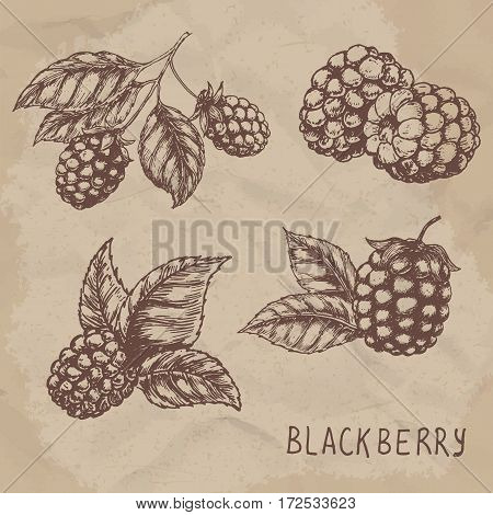 Illustration set of drawing blackberry raspberry. Hand draw illustration set for design. Vector engraving drawing antique illustration of blackberry with leafs.