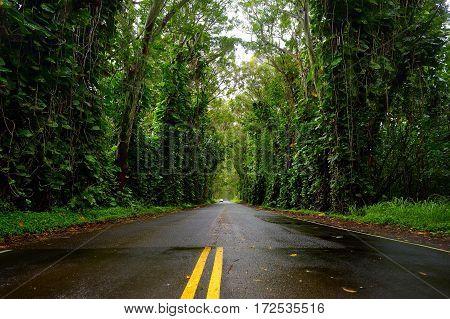 Eucalyptus Tree Tunnel Near Koloa Town On Kauai