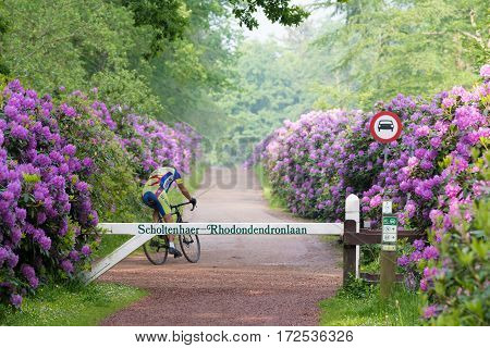 OLDENZAAL NETHERLANDS - MAY 27 2016: Unknown cyclist in a beautiful lane with blooming rhododendron flowers
