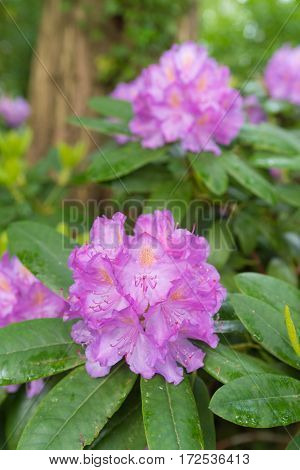 blooming pink rhododendron flowers after some rain