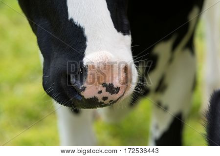 closeup of a black holstein cows nose