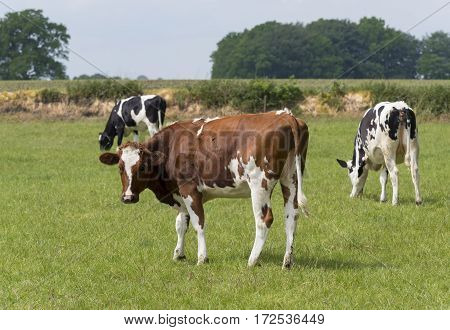 black and red frisian holstein cows in a dutch meadow
