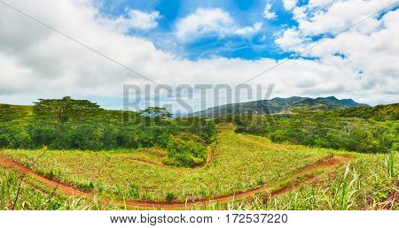 View of a sugarcane and mountains. Mauritius island. Panorama