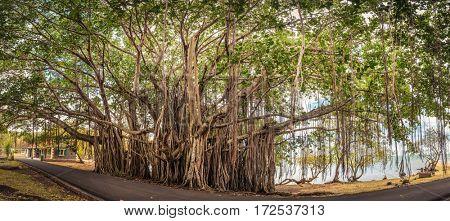 Big banyan tree. Mauritius island. Panorama