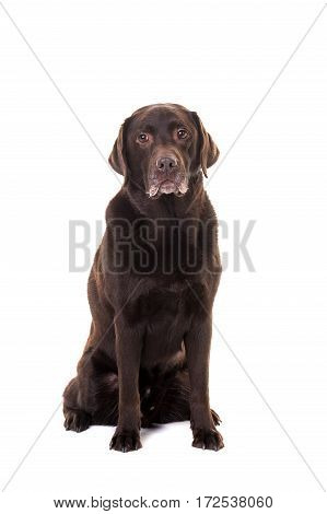 Senior male chocolate brown labrador retriever dog sitting facing the camera isolated on a white background