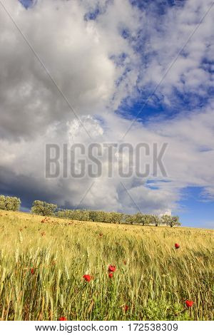 Springtime.Between Apulia and Basilicata: hilly landscape with green cornfields.ITALY. Ears of corn in the wind.Spring countryside with immature cultivations and olive trees.dominated by thundercloud.