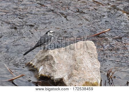 White wagtail (Motacilla alba), on the rock in the river