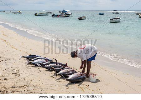 Tamarin Mauritius - December 8 2015: Fisherman handles nine freshly big tuna fish on the beach of Tamarin Bay in Mauritius.