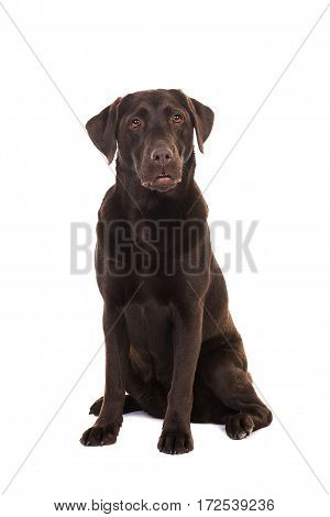 Female chocolate brown labrador retriever dog sitting looking surprised facing the camera isolated on a white background