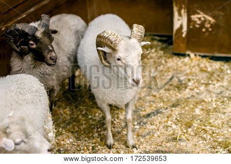 image adult sheep with horns looking at you
