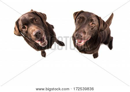 Two brown labrador retriever sitting facing the camera seen from above isolated on a white background