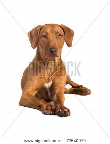 Pretty rhodesian ridgeback dog lying on the floor with its head up facing the camera seen from the front isolated on a white background