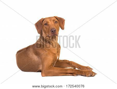 Pretty rhodesian ridgeback dog lying on the floor seen from the side with its head up facing the camera isolated on a white background