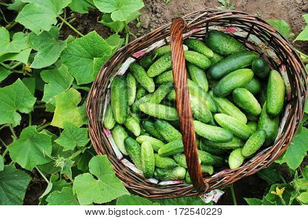 Fresh harvest of cucumbers in a basket